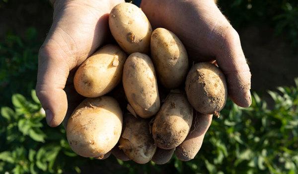 culture de la pomme de terre