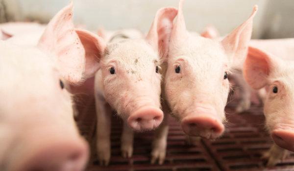 élevage de porcs conventionnel