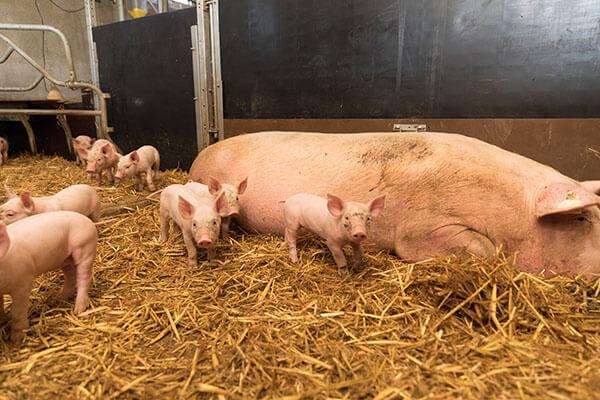 Porc bio sur paille