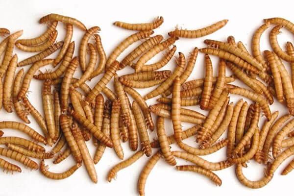 protéines d'insectes en nutrition animale