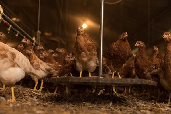 aide installation de peson automatique en élevage de poulettes