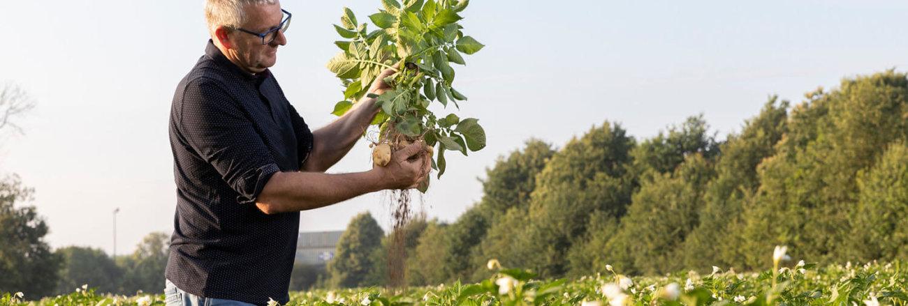champ de pommes de terre en fleurs