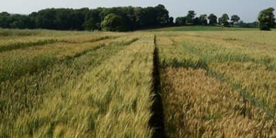 essais culturaux en blé