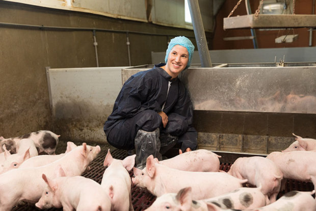 suivi en élevage de porcs