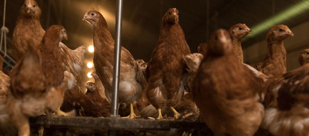 pesons automatiques en élevage de poulettes
