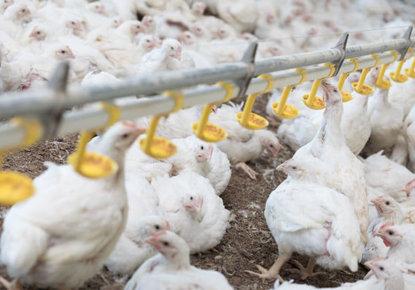 élevage de poulets en lumière naturelle