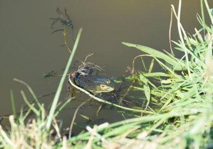 Grenouille dans lagune recueillant eaux pluviales 2