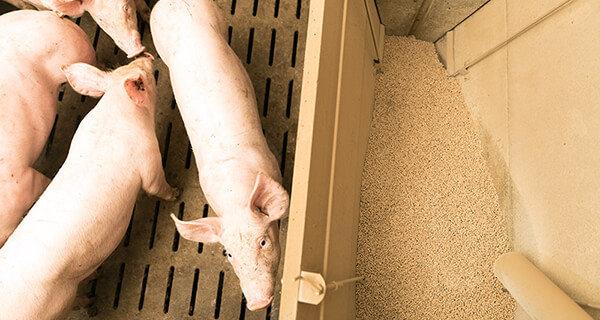 aliment porc charcutier