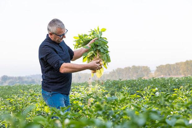 producteur de pommes de terre