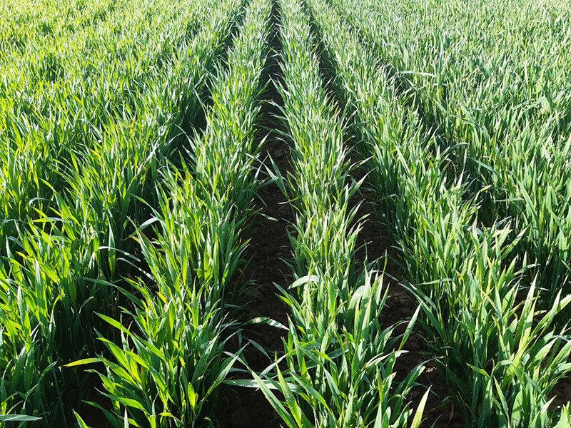 Essais de binage sur blé